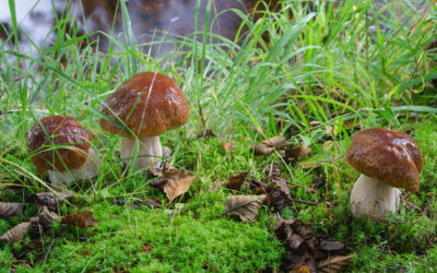 Mushrooms; Your Health Boost